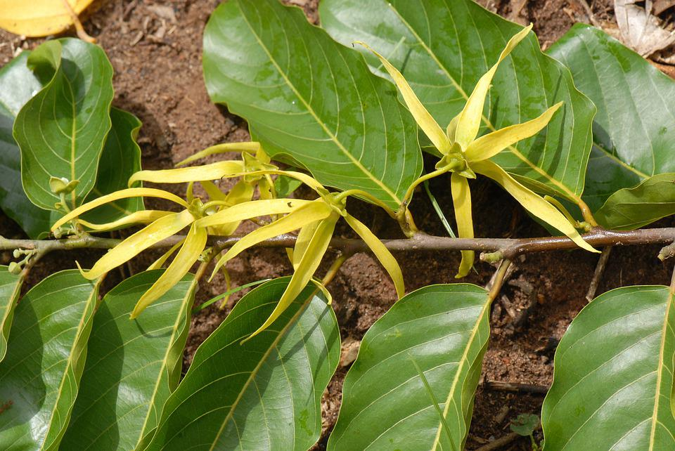 Ylang Ylang, Blossom, Bloom, Plant, Flower