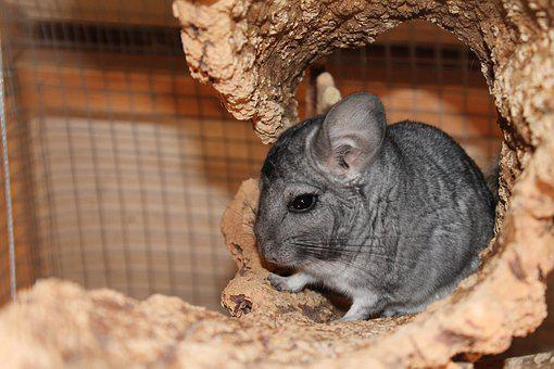 Chinchilla, Grey, Pet, Cute, Animal