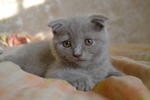 30 Free Scottish Fold Cat Photos Pixabay