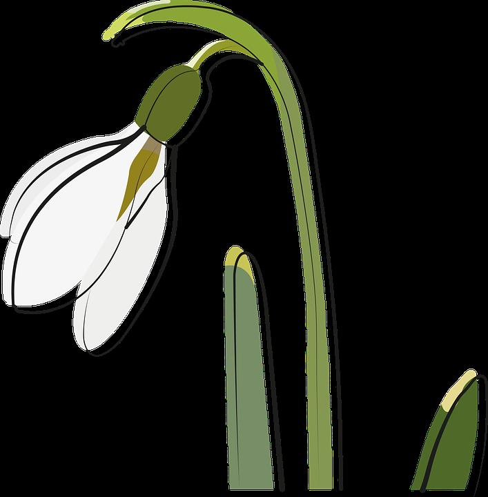 Sneeuwklokje, Voorjaar, Bloem, Tuin, Planten