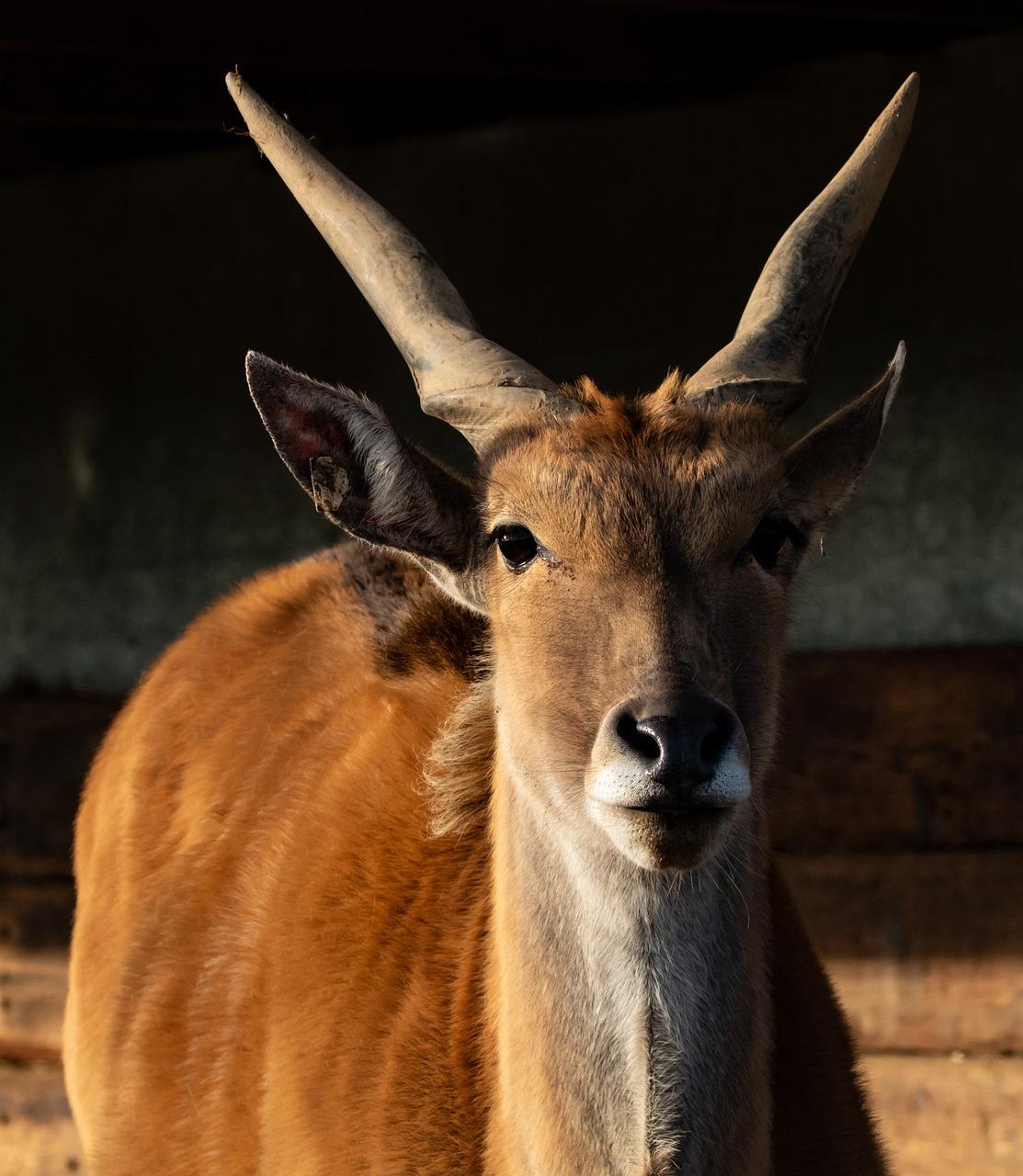 common eland common eland similar classifications