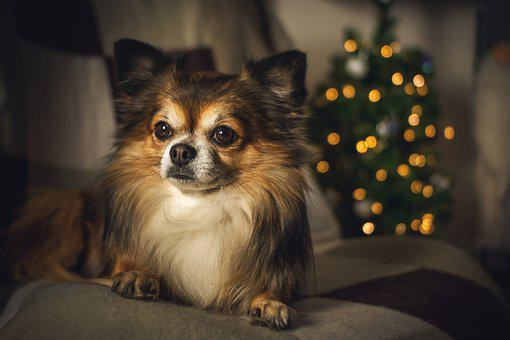 Chihuahua, Christmas Lights, Dog, Small