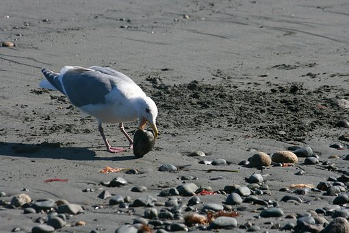 Seagull, Clam, Beach, Seashell, Coast