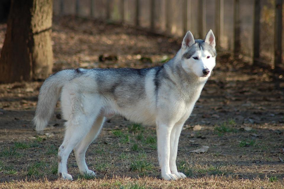 De Siberische Husky, Hond, Husky, Dier, Zoogdier, Bont