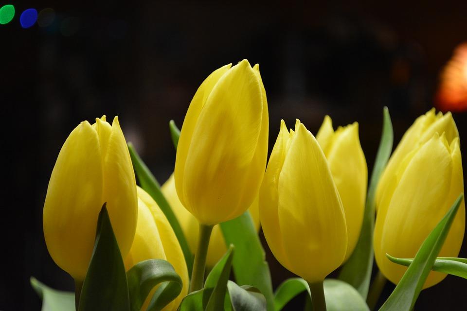 Tulip Bunga Fokus Makro Foto Gratis Di Pixabay