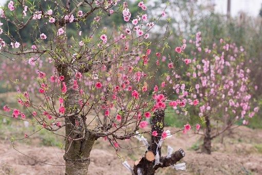 복숭아, 복숭아 꽃, 꽃, 봄, 핑크, 자연, 식물, 블 룸, 꽃잎
