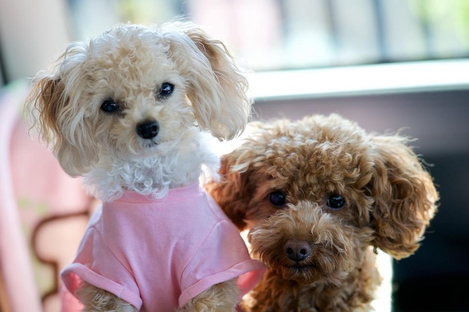 犬, トイ ・ プードル, かわいい, 動物, 雰囲気を好む人, ペット