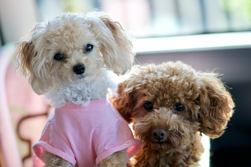 Dog, Toy Poodle, Cute, Animal, Lovers