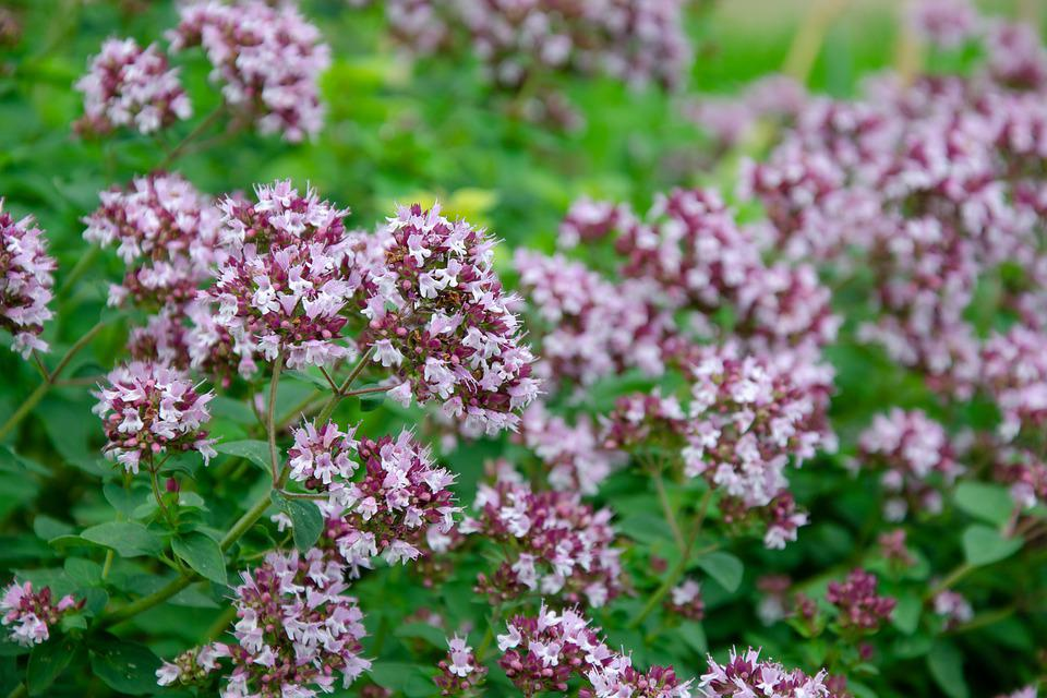 Oregano Real Roxanne Blossom - Free photo on Pixabay