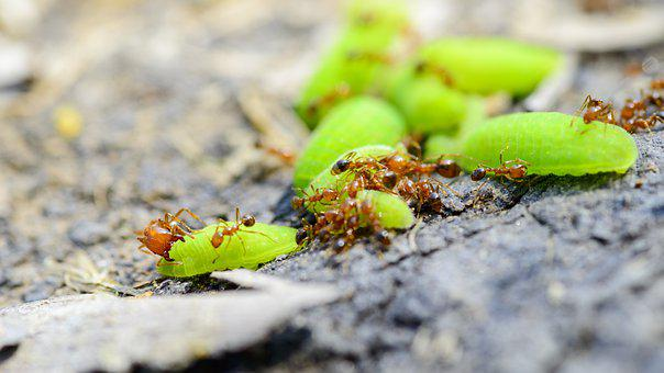 Ant, Worm, The Ant Eat Worm, Fire Ants