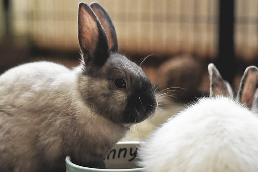 Dwarf Rabbit, Color Dwarf, Pet, Rabbit