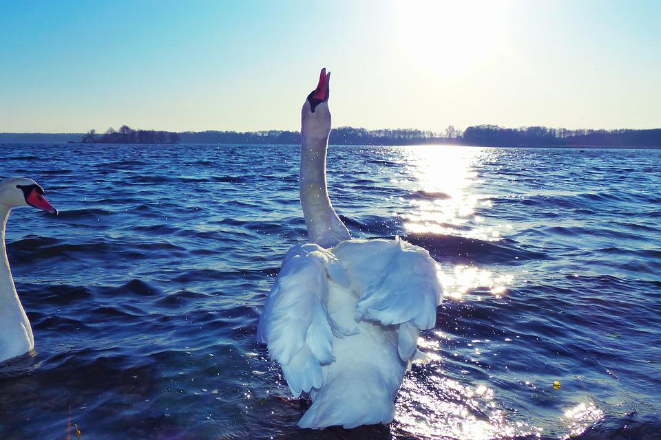 Łabędź Niemy, Samiec, Rozprysk Wody, Ptaki