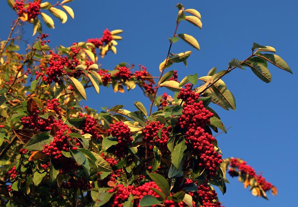 Red Berries Shrub Free Photo On Pixabay