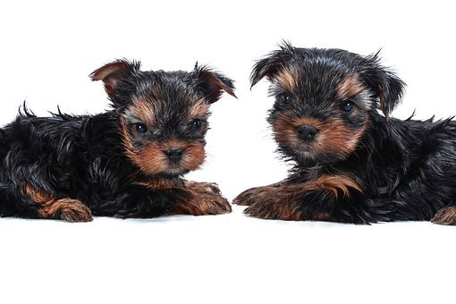 Teacup Yorkie Puppies For Sale in AL