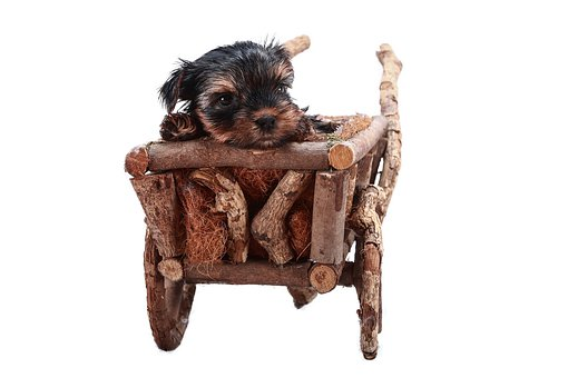 Teacup Yorkie Puppies for sale in Idaho