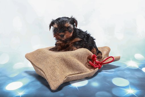 Teacup Yorkie Puppies for sale in Pennsylvania
