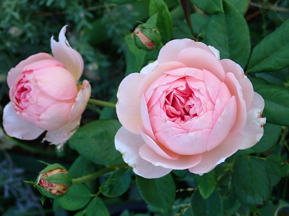 Fleurs Rose Roses - Photo gratuite sur Pixabay