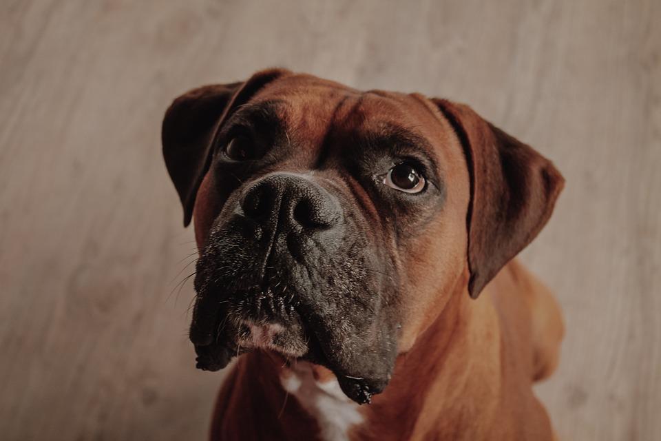 Boxer, Perro, Animal, Retrato, Lindo, De Raza Pura