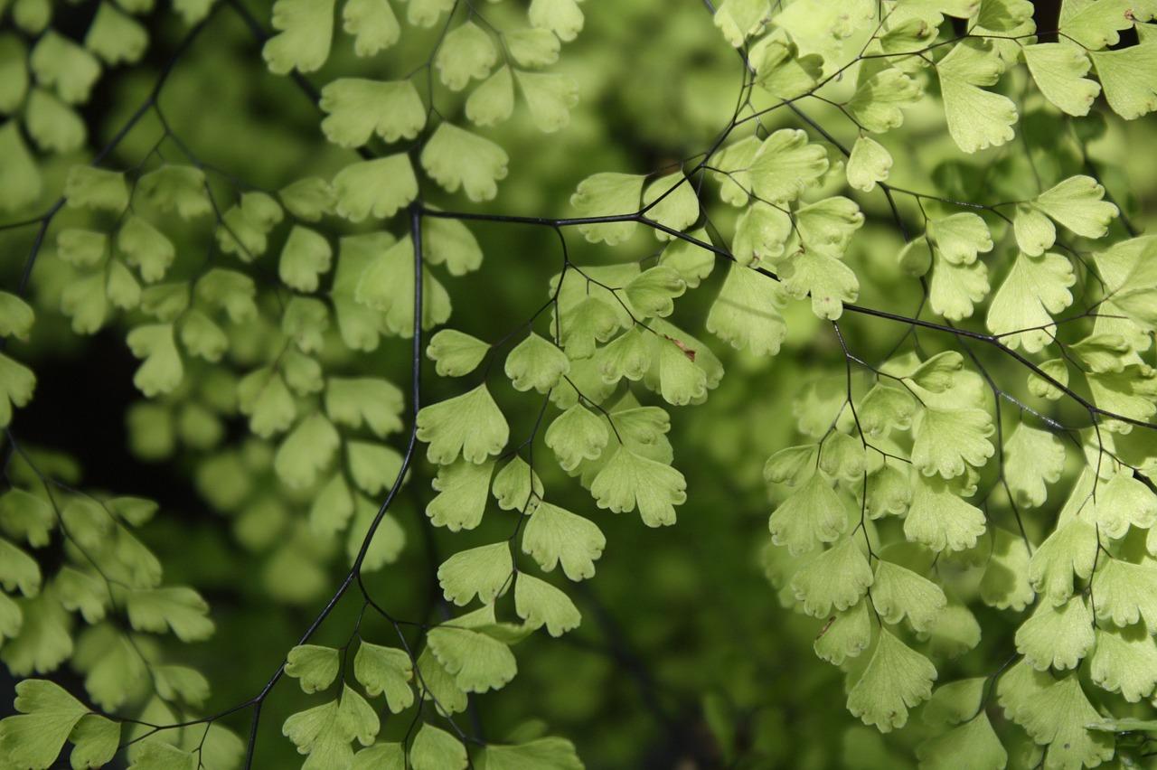 Maidenhair Fern Houseplant Green - Free photo on Pixabay