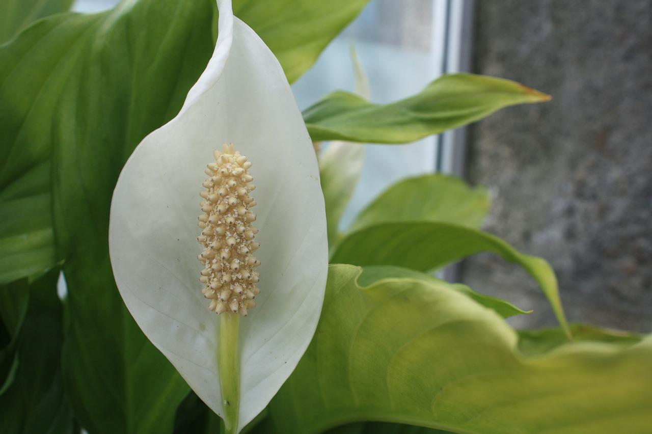 Peace Lily White Bloom - Free photo on Pixabay