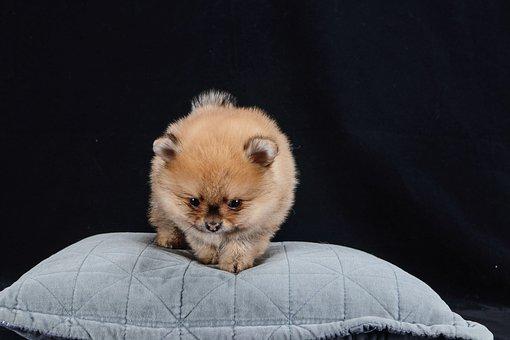 Pomeranian, Dog, Brown, White, Baby