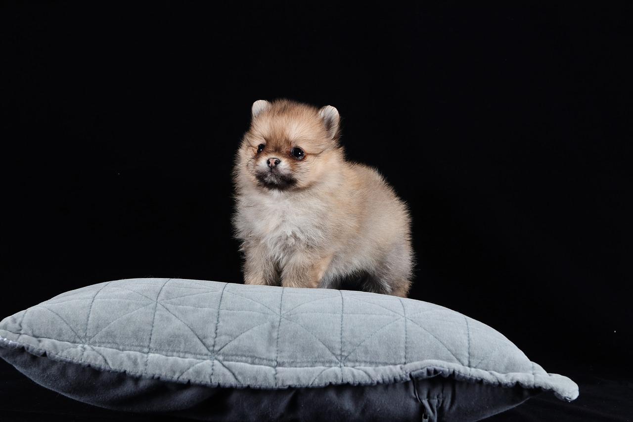 Pomeranian Dog Brown Free Photo On Pixabay