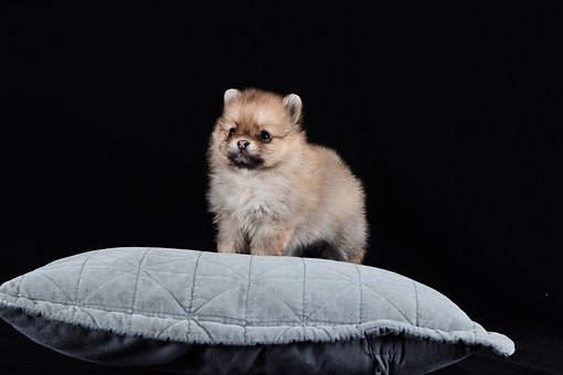 Miniature Pomeranian Puppies For Sale in Louisiana