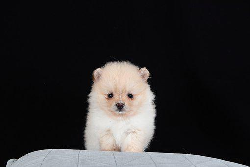 Pomeranian, Dog, Brown, White, Baby