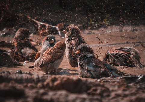 Sparrows, Birds, Water, Mud, Splash