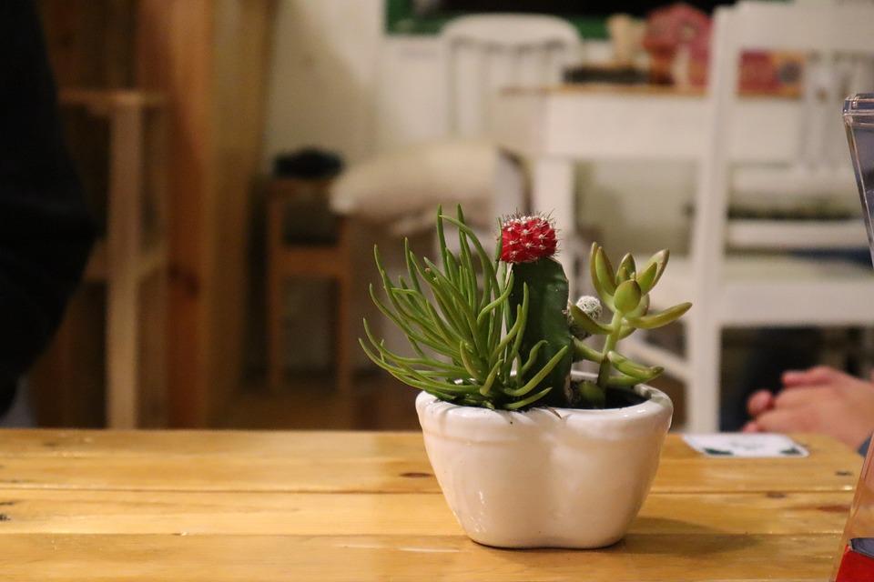 ดอกแคคตัส, Cactus ดอกไม้ดื่มกาแฟ, ดอกแคคตัสสีแดง