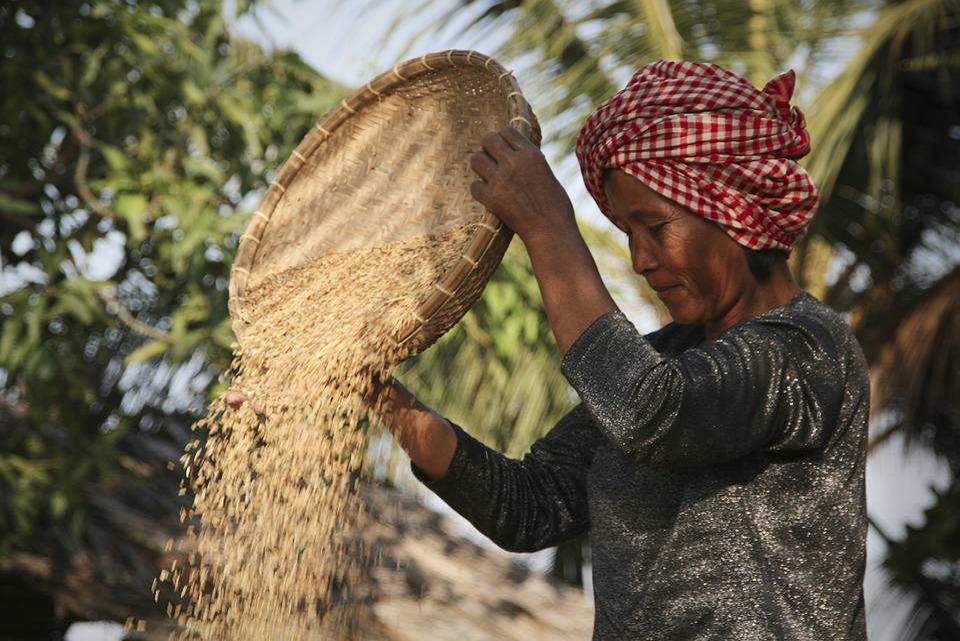 Rice Harvest Chaff