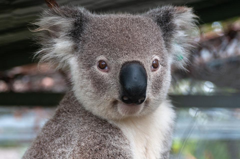 Australia, Animals, Koala, Nature, Animal, Australian