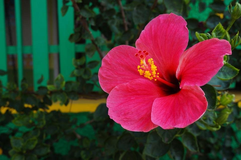 Bunga Kembang Sepatu Merah Foto Gratis Di Pixabay