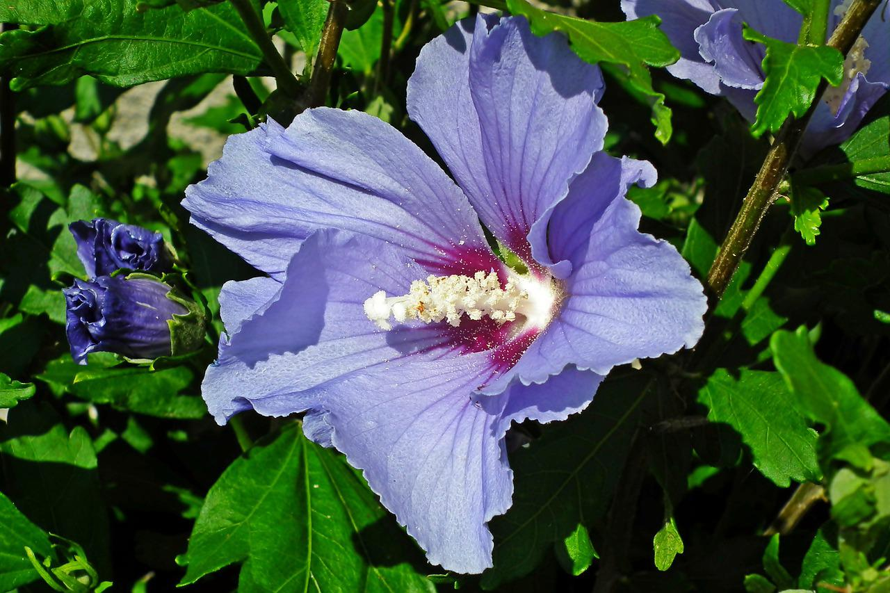 Hibiscus Flower Garden Free Photo On Pixabay