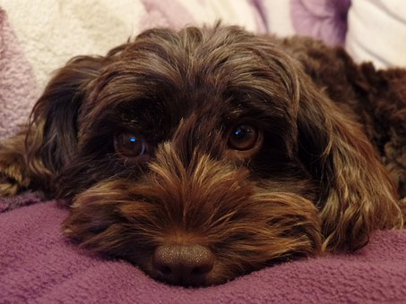 Cockapoo Puppies For Sale in Georgia