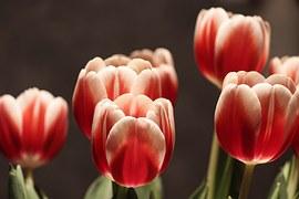 Tulip Flower, Tulips, Half Closed