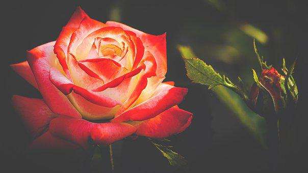 Rose, Floribunda, Blossom, Bloom, Bud,Know more about the days leading up to Valentine's day like Rose Day, Chocolate day and Anti-Valentine's day like break up day, slap day and more.