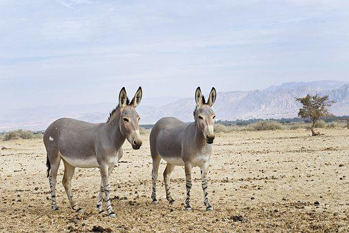 Somali Wild Ass, Desert, Negev, Israel