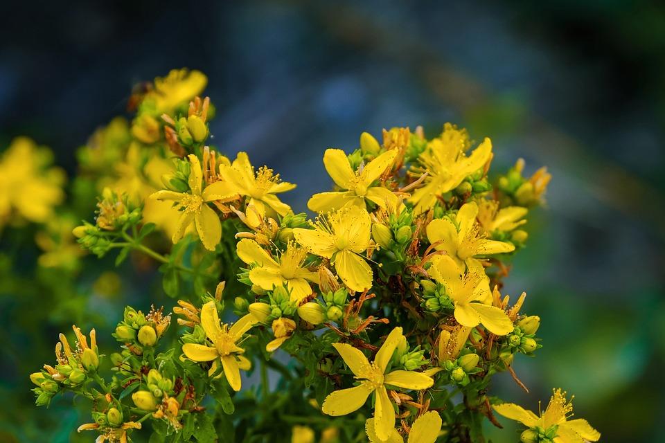 Millepertuis, Fleurs, Jaune, Bloom
