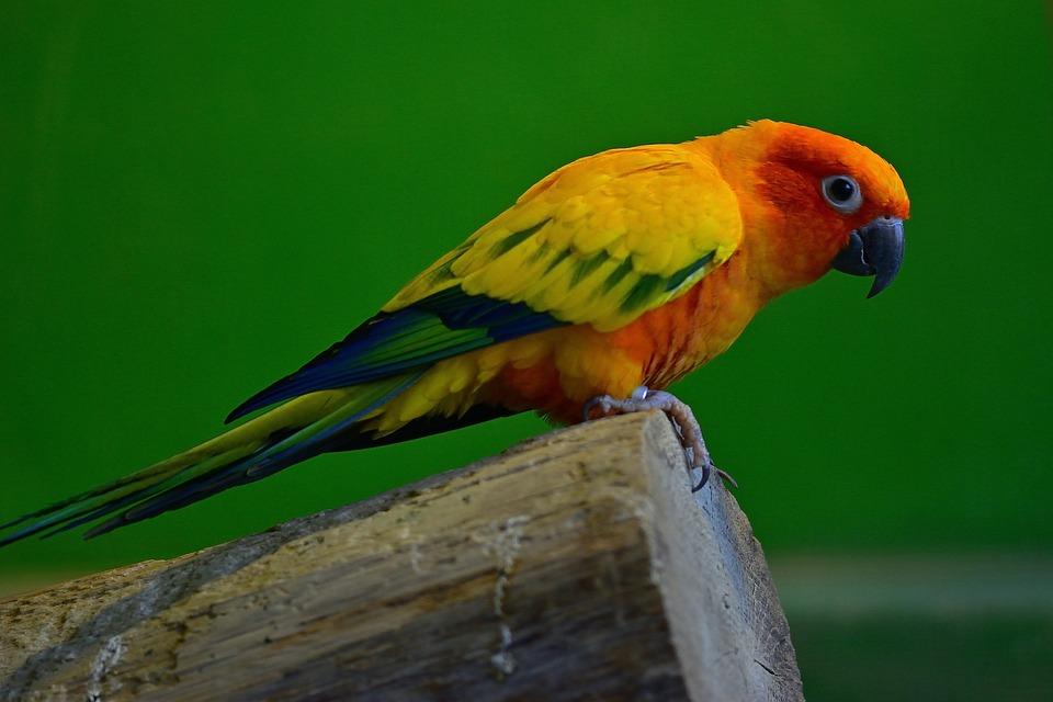 Animal World, Parakeet, Bird, Plumage, Parrot, Creature