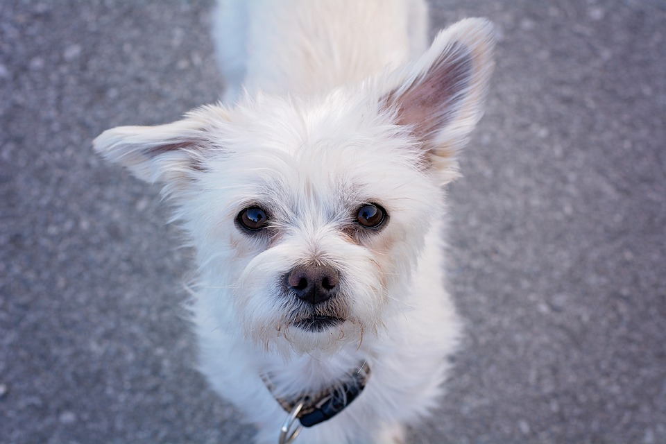 Dog, Small, White, Sweet, Pet, Maltese, Small Dog