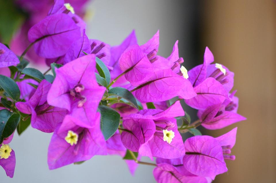 Bunga Bugenvil Ungu Foto Gratis Di Pixabay