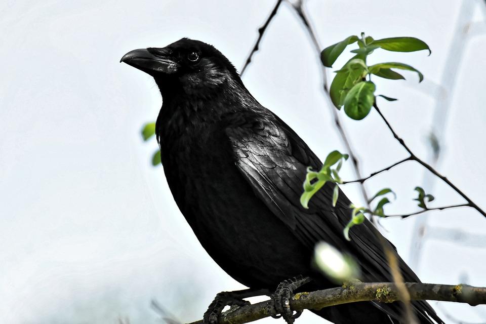 Фото ворона