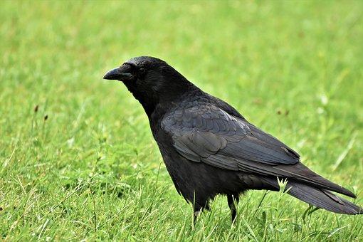 Raven, Crow, Raven Bird, Bird