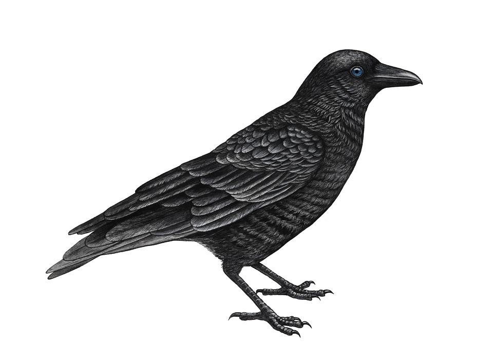 Karga Kuzgun Siyah Pixabay De Ucretsiz Resim