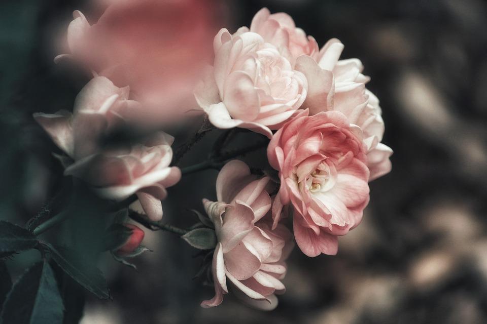 Bush, Roseira, Rosas, Flores, Flor De Rosa, Rosa