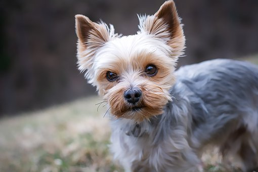 Yorkshire Terrier, Purebred Dog, Small