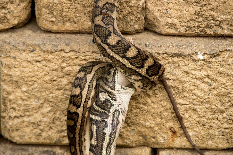 Karpet Python Ular Sanca Makanan Foto Gratis Di Pixabay