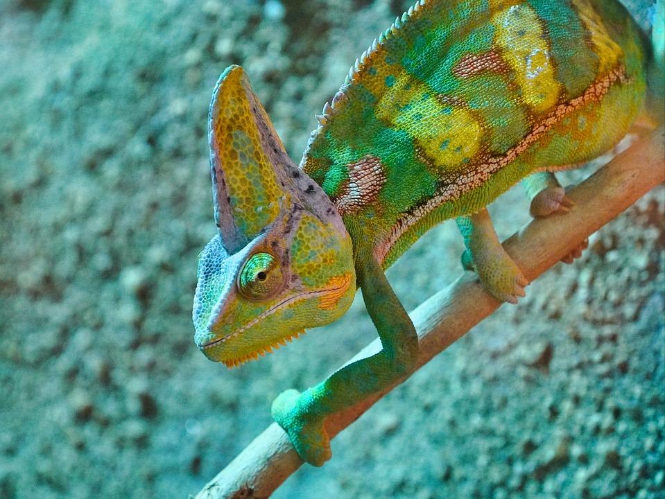 Хамелеон, Зеленый, Террариум, Террариумных Животных
