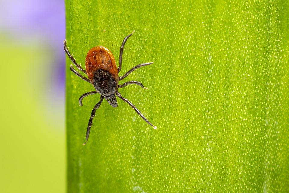 Ricinus Teek, Insect, Spider, Natuur, Dierlijke